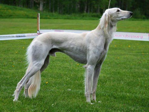 saluki-dog-inmarathi