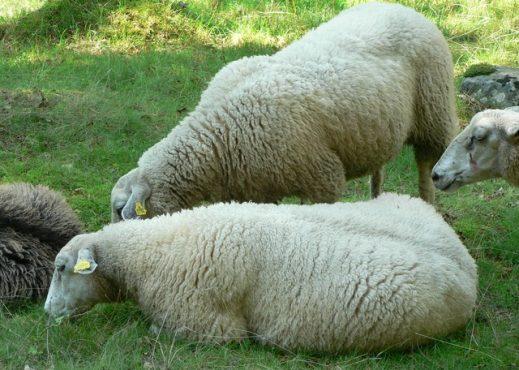 sheep-inmarathi