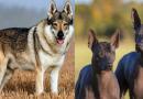 जगातील सर्वात महागड्या कुत्र्यांच्या प्रजातींच्या या किमती पाहूनच डोळे विस्फारतात