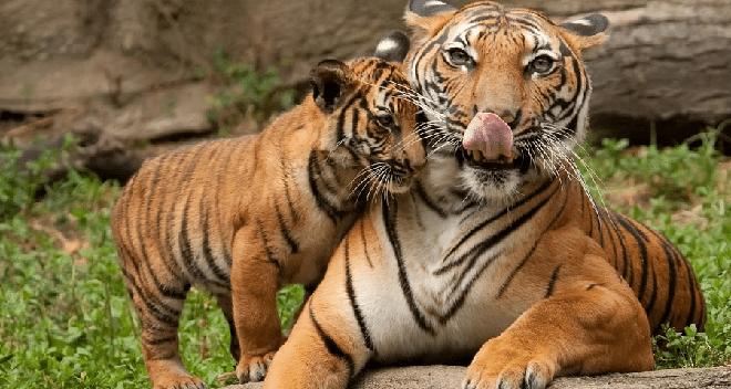 avni-cubs1-inmarthi