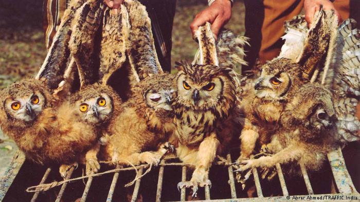 smuggling-owls-inmarathi