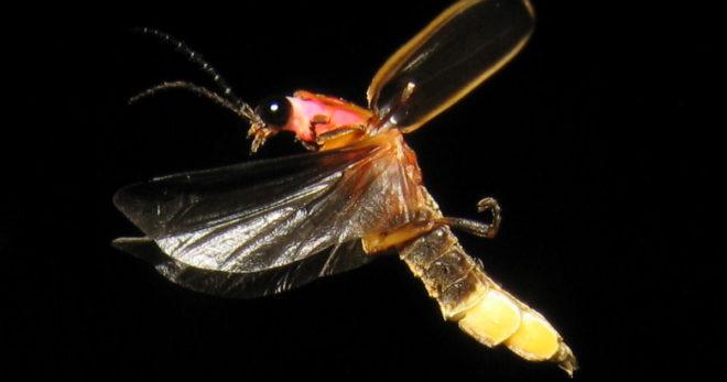 firefly_inmarathi