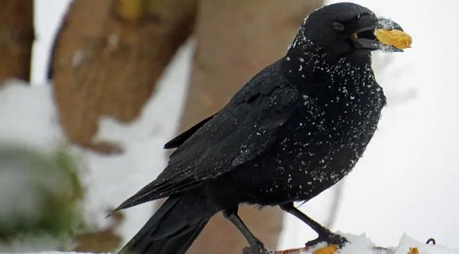 crow eating inmarathi