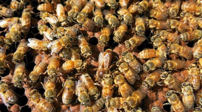honey-bee-inmarathi