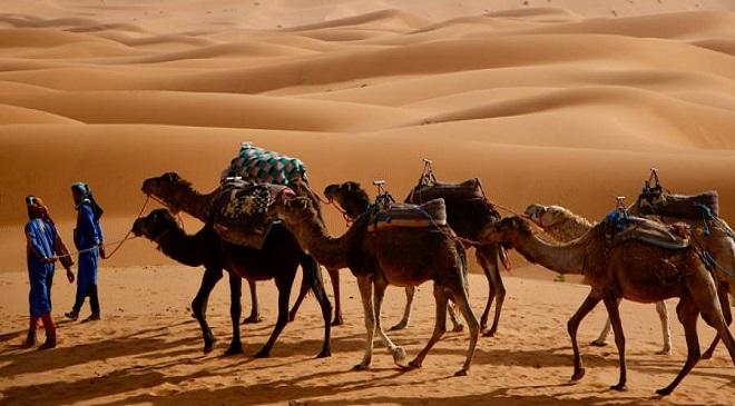 berber-camels