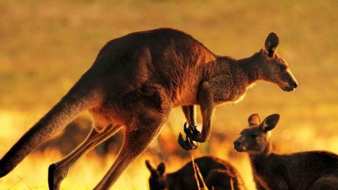 kangaroo inmarathi