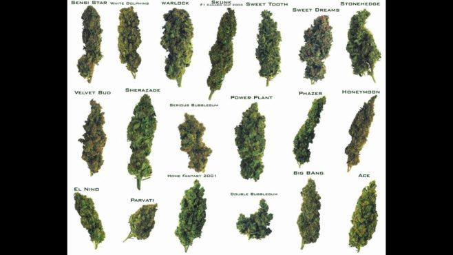 cannabis inmarathi