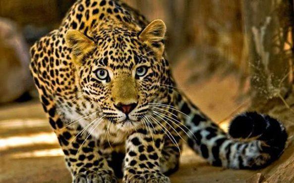 leopard inmarathi