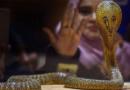 साप चावल्यानंतर तिने जे केलं ते पाहून डॉक्टरांचीच बोबडी वळलीय!