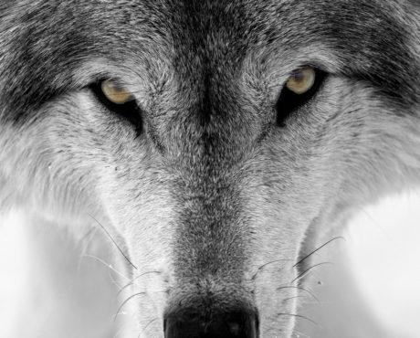 wolf inmarathi