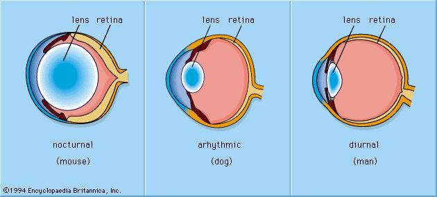 nocturnal vs diurnal lens InMarathi