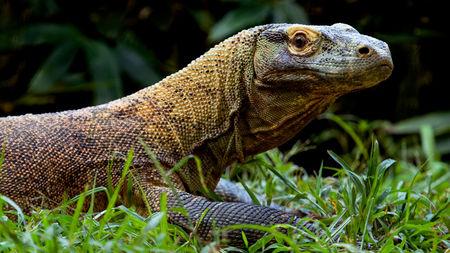 Komodo Dragon InMarathi