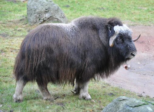 kasturi Ox InMarathi
