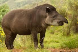 tapir InMarathi