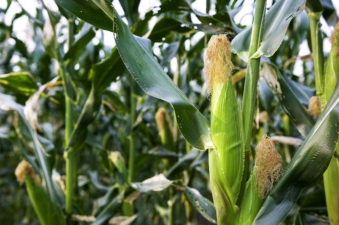 corn tree InMarathi