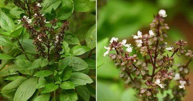sabja-plant-inmarathi