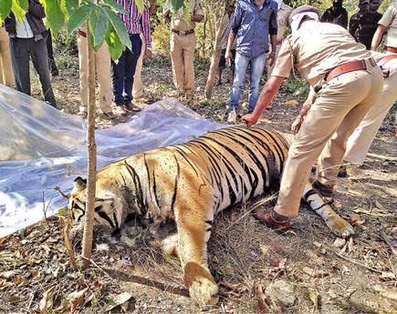 tiger inmarathi