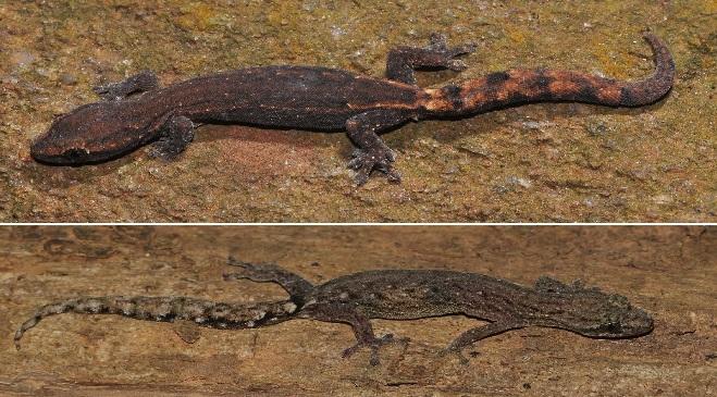 wall lizard inmarathi 1