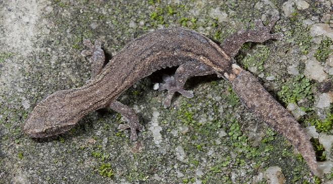 wall lizard inmarathi