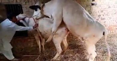 cow inmarathi 7