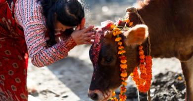 cows inmarathi