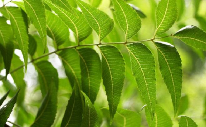 neem inmarathi 2