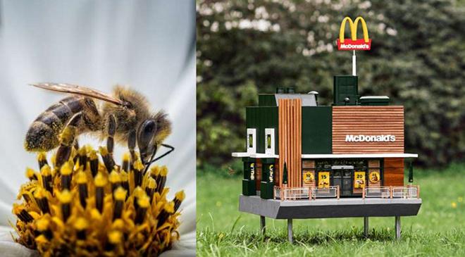 जगविख्यात 'मॅकडॉनल्ड' ने मधमाश्यांच्या संवर्धनासाठी उचललेले पाऊल कौतुकास्पद आहे!