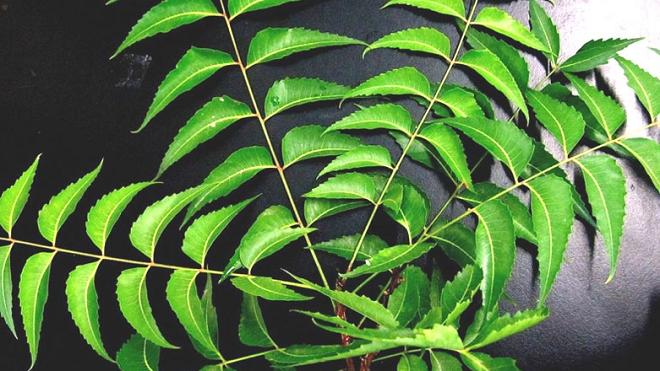 neem inmarathi