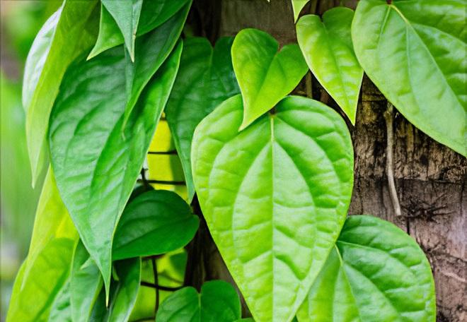 betel leaf inmarathi3