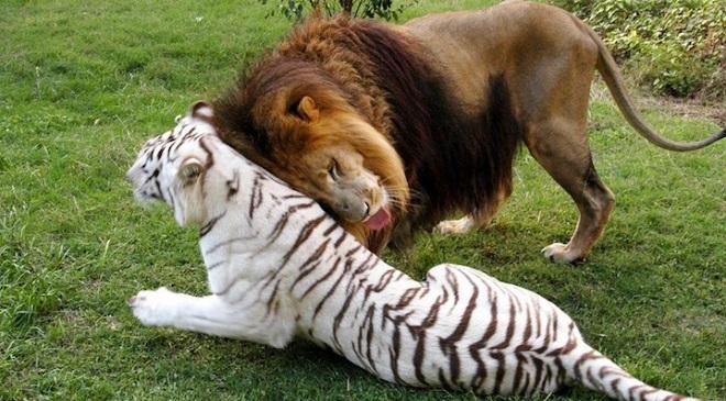 Liger Tigon InMarathi