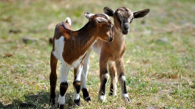 goat inmarathi