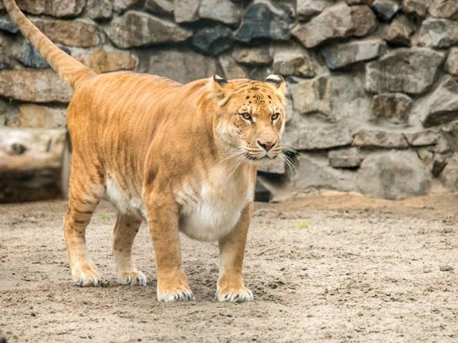 liger inmarathi