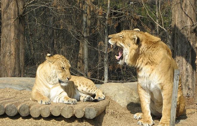 liger inmarathi3