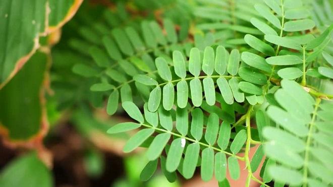tamarind leaves inmarathi1