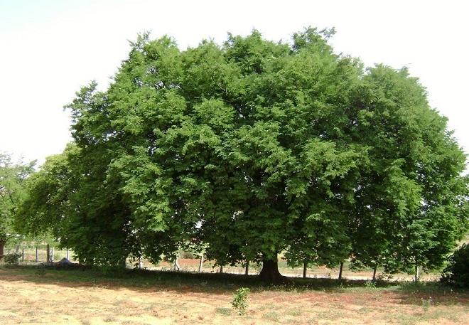 tamarind tree inmarathi1