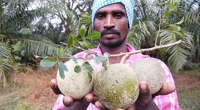 wood apple featured inmarathi