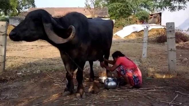 buffalo inmarathi1
