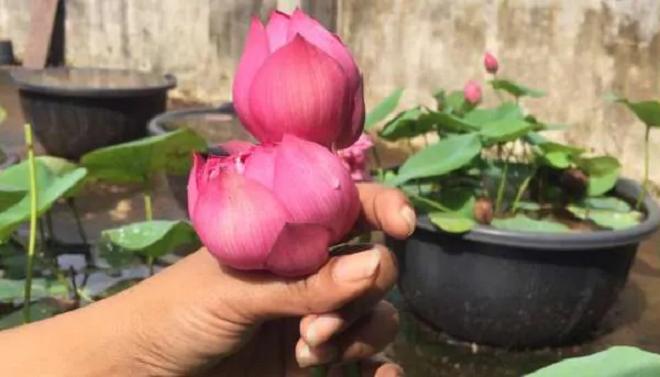 lotus 2 inmarathi
