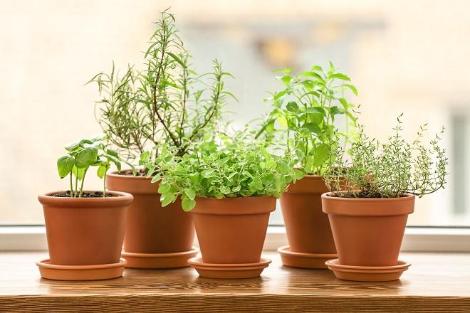 basil plant inmarathi