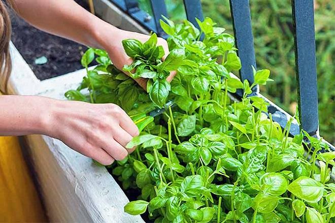 basil plant inmarathi2