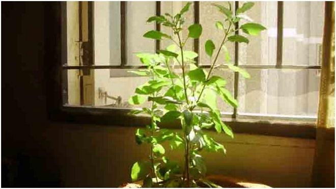 basil plant inmarathi3