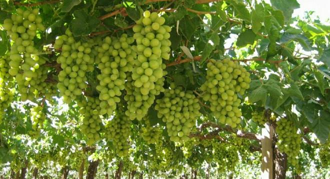 grapes 2 inmarathi
