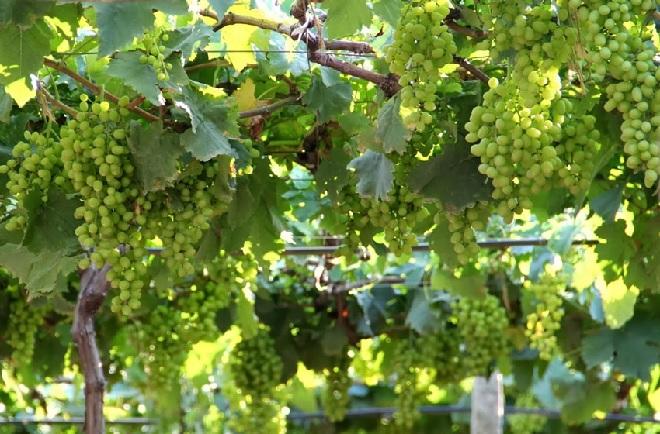 grapes farm inmarathi