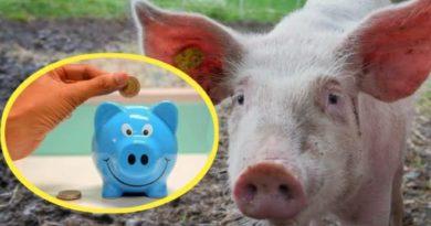 pig piggy bank inmarathi