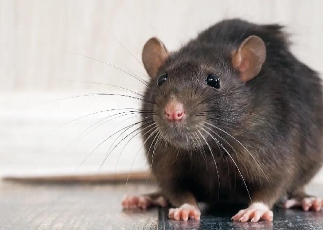 rat-inmarathi