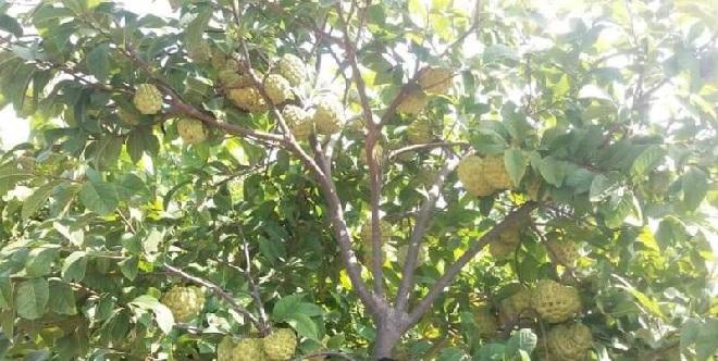 sitafal-tree-inmarathi