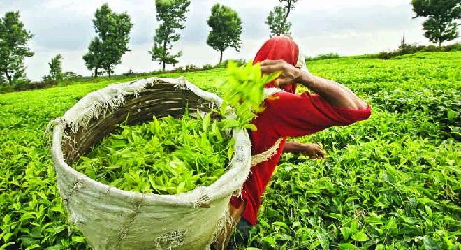 tea garden in asam inmarathi