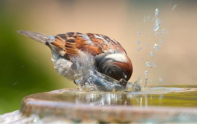 sparrow inmarathi