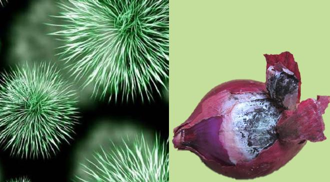 onion inmarathi 1