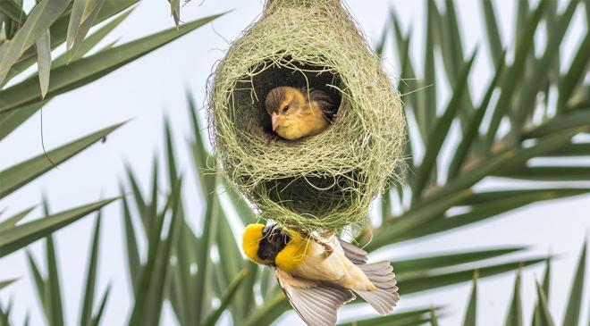 Baby weaver birds colony